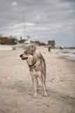Husky Dog vid havet Royaltyfria Bilder