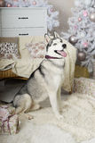 Husky dog waiting for a gift from Santa Claus Royalty Free Stock Images