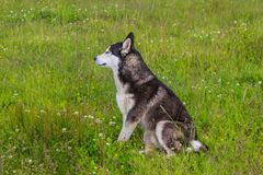 Husky dog walking in the field stock photos
