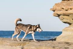 Husky Dog Walking op Rocky Coast stock afbeelding