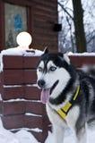 Husky Dog Wearing Harness i vinter Arkivfoton