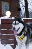 Husky Dog Wearing Harness in Winter Stock Photos