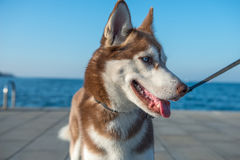 Husky dog. Husky white and brown, with blue eyes, on leash, in front of the sea Stock Image