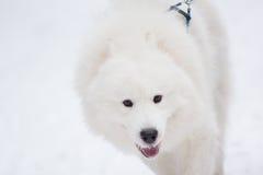 Husky dog Royalty Free Stock Photography