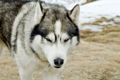 Husky dog  in  wilderness Stock Photo