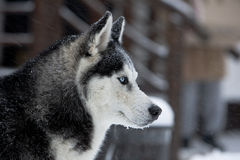 Husky dog in winter Royalty Free Stock Photography