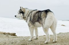 Husky dog in winter Stock Images