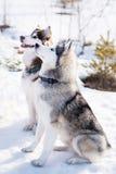 Husky dog in winter. Cute pet, friendly. Royalty Free Stock Photo