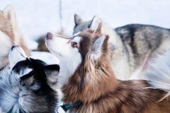 Husky dog in winter. Cute pet, friendly. Stock Image