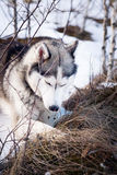 Husky dog in winter. Cute pet, friendly. Royalty Free Stock Images