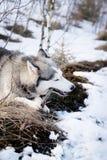 Husky dog in winter. Cute pet, friendly. Stock Photo