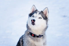 Husky dog in winter. Cute pet, friendly. Royalty Free Stock Photos
