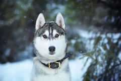 Husky dog winter Stock Image