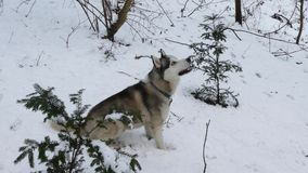 Husky dog in the winter stock video