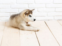 Husky dog on wood with bricks Royalty Free Stock Photography