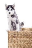 Husky dog in wooden box at studio Stock Photos