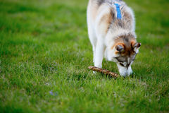 Husky dog with a wooden stick in his mouth Stock Photo