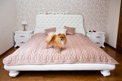 Husky dogpomeranian dog on a bed. Pomeranian dog on a girl`s bed. Indoor dog royalty free stock photos