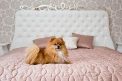 Husky dogpomeranian dog on a bed. Pomeranian dog on a girl`s bed. Indoor dog stock photography