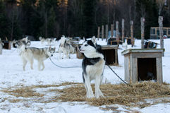 Husky dogs Royalty Free Stock Photo