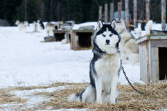 Husky dogs Stock Image