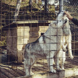 Husky dogs Royalty Free Stock Photos