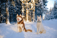 Husky dogs Stock Photo