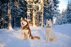 Husky dogs Stock Photo