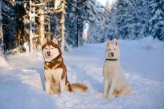 Husky dogs Stock Image