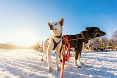 Husky dogs. Husky kennel visit in Northern Norway Royalty Free Stock Photo
