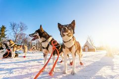 Husky dogs. Husky kennel visit in Northern Norway Stock Image