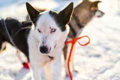 Husky dogs. Husky kennel visit in Northern Norway Stock Photo