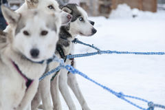 Husky dogs in Lapland Royalty Free Stock Image