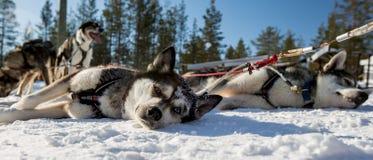 Husky Dogs Royalty Free Stock Photography