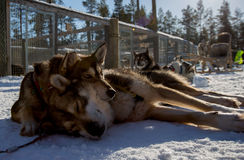 Husky Dogs Stock Images