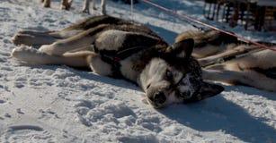 Husky Dogs Stock Photos
