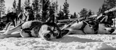 Husky Dogs Royalty Free Stock Images