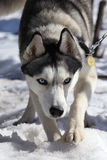 Husky dogs prey Royalty Free Stock Images