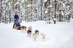 Husky safari in Finland. Husky dogs are pulling sledge with family at winter forest in Lapland Finland stock image