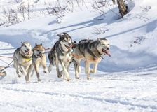 Husky dogs are pulling sledge at sunny winter forest. In Kamchatka, Russia Stock Images