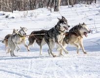 Husky dogs are pulling sledge at sunny winter forest in Kamchatk. A, Russia Royalty Free Stock Image
