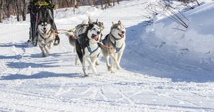 Husky dogs are pulling sledge at sunny winter forest. In Kamchatka, Russia Royalty Free Stock Image