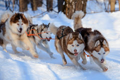 Husky dogs are pulling sledge  at sunny winter forest. In Moscow, Russia Royalty Free Stock Photo