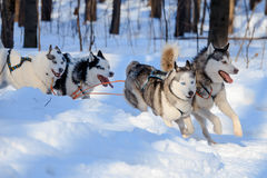 Husky dogs are pulling sledge  at sunny winter forest Royalty Free Stock Photo