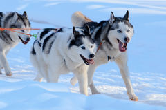 Husky dogs are pulling sledge  at sunny winter forest. In Moscow, Russia Stock Images