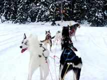 Husky dogs pulling sleigh Royalty Free Stock Images
