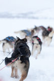 Husky dogs racing Stock Photos