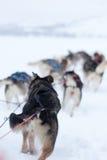 Husky dogs racing Stock Photos