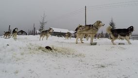 Husky dogs ready for a dogsled race stock video footage