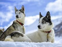 Husky dogs resting Royalty Free Stock Photos
